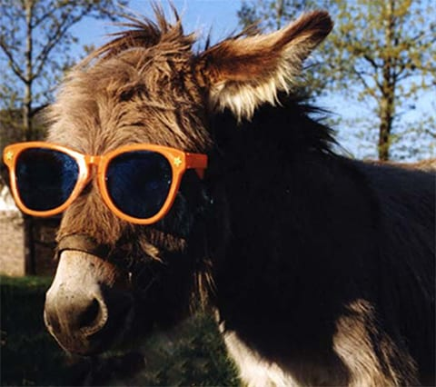 donkey in sunglasses