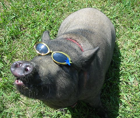 pot bellied pig wearing glasses