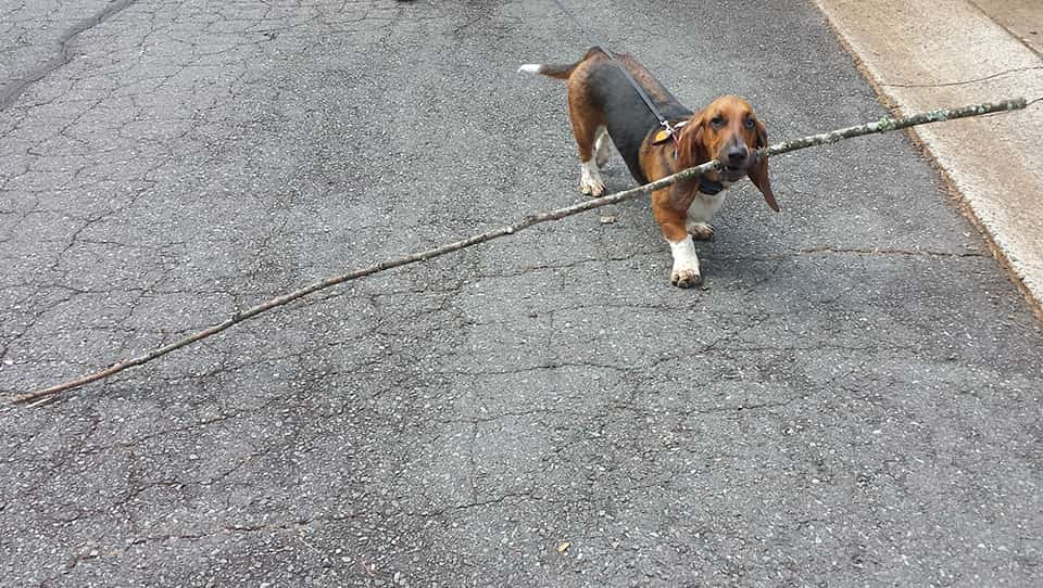 basset carrying big stick