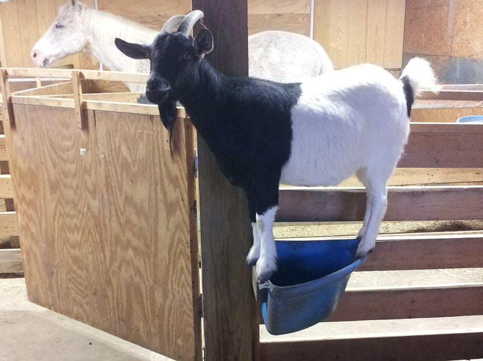 goat on feed trough