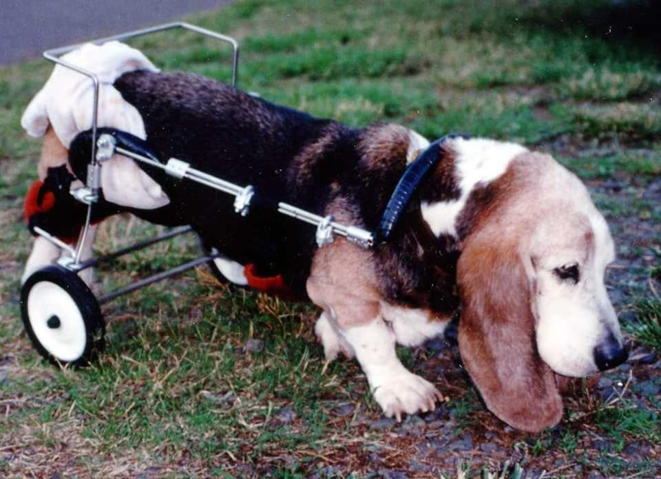 basset hound in wheelchair