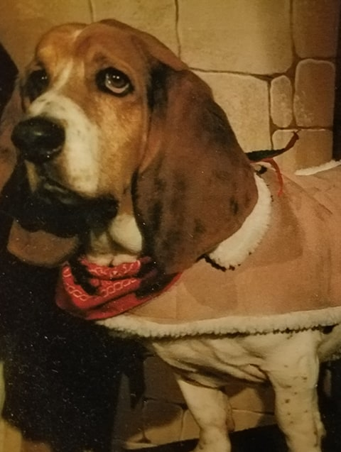 basset wearing coat