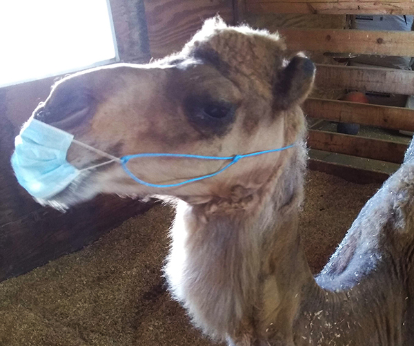 Camel with mask